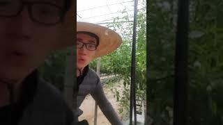 청양고추 양액재배 근권보일러 온도관리