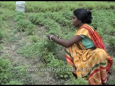 De-weeding and sowing preparation for elephant foot yam (jimikand)