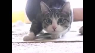 это можно смотреть вечно!!!  смешные коты!!!