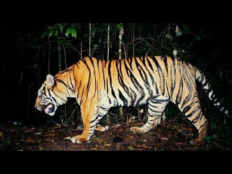 Saving Sumatra's tigers