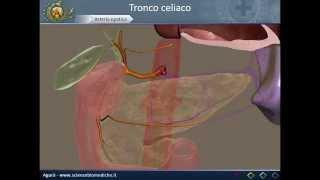 Apparato cardiocircolatorio 17: Tronco celiaco