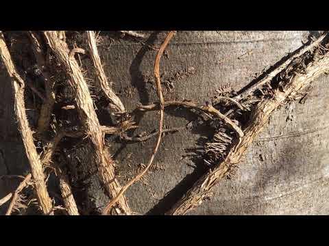 Copper Beech (Fagus sylvatica f. purpurea) - bark close up - May 2018