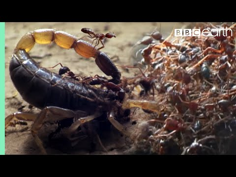 Killer Ant Swarm Butchers Lone Scorpion | Superswarm | BBC Earth
