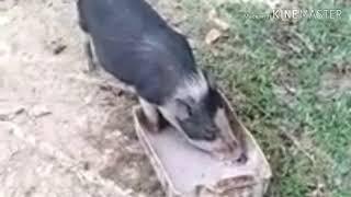 Download lagu viral!!! Lagu dayak hari hari mengumpan babi