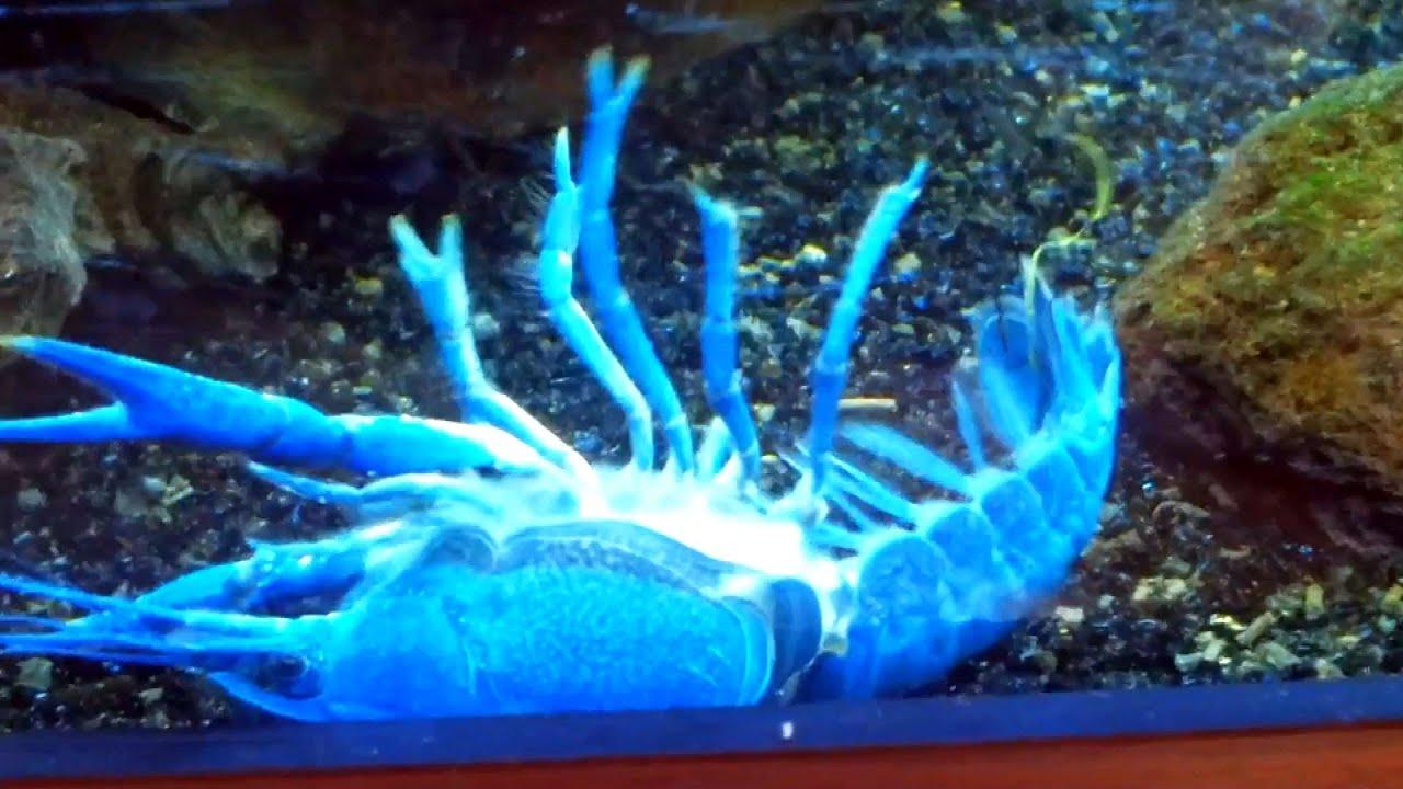 Aquarium kreeft vervelt, blauwe kreeft (Floridakreeft) is aan het vervellen   YouTube