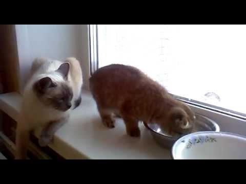 Продам котенка скоттиш-фолда, Новосибирск, 895З-767З-128
