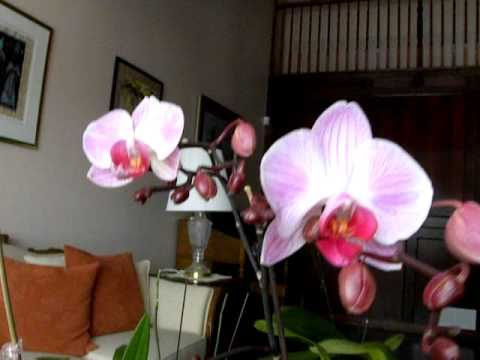Reblooming Your Phalaenopsis Orchid Where To Cut The Primary