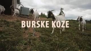 Burske koze - Domačija Dežman