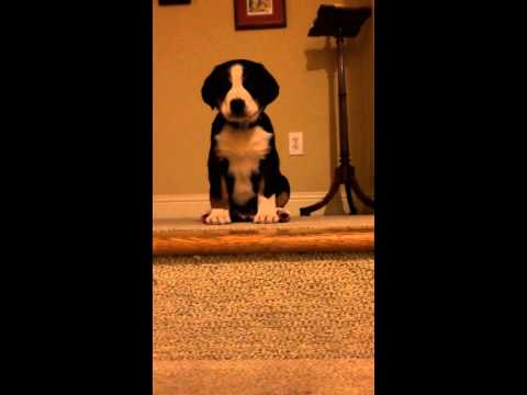 Greater Swiss mountain dog puppy frustrated going downstairs