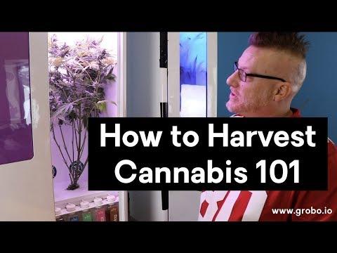How to Harvest Cannabis - Grobo Grow Box Tips