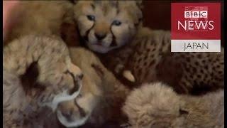 米オハイオ州シンシナティの動物園で帝王切開で生まれたチーターの赤ち...