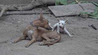 Big Dog and little cute dog playing Funny video 2018