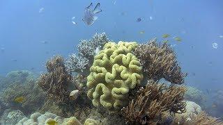 Личинки коралловых полипов помогают восстанавливать Большой Барьерный риф (новости)