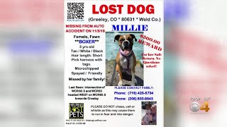 'Millie' The Dog Missing After Devastating Crash Near Greeley