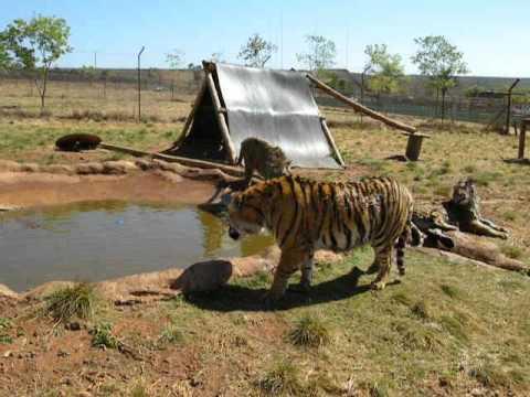 Tiger Slap thumbnail