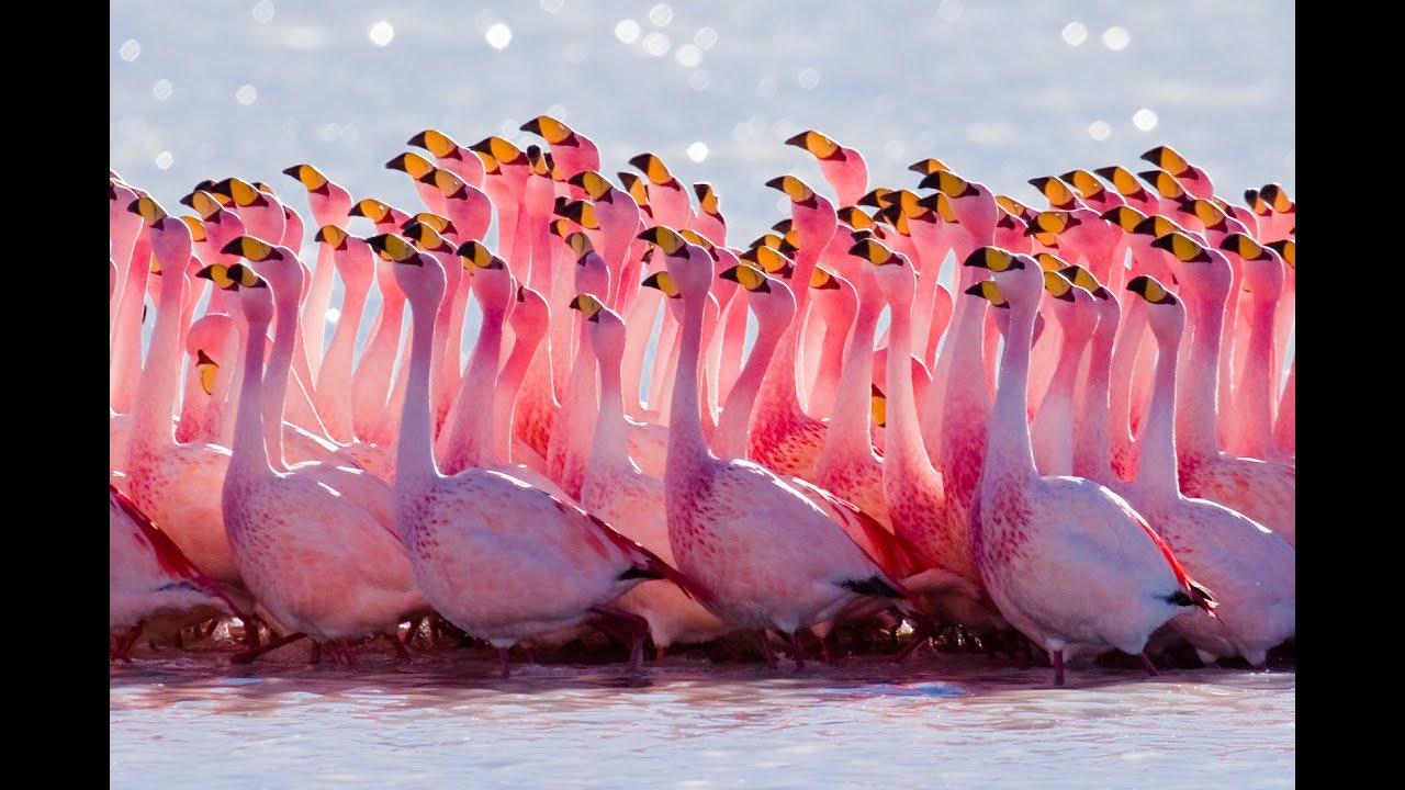 розовых фламинго