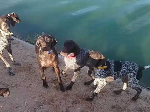 At the Canal. German Shorthaired Pointer.