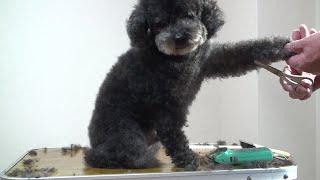 愛犬マロン(トイプードル)を約2か月に1回位のペースで自宅でカットし...