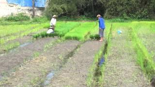 Rice farmers working paddies, vehicles, Hue, Vietnam, 2015-02-01