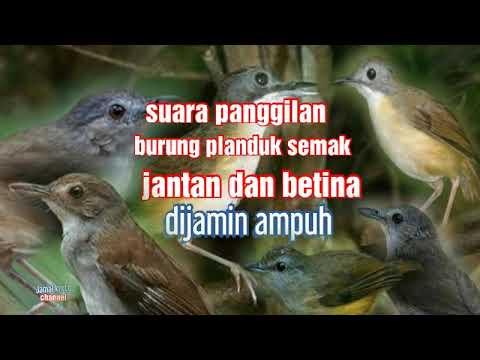 Suara Pikat Burung Planduk Semak