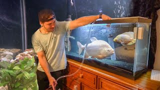 HUGE PLATINUM Pacu SAVED From CROWDED FISH TANK!