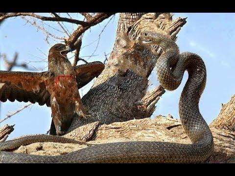 Eagle vs King cobra real fight ⇶ animals attack Lion , leopard , Mongoose , Snake , Bird