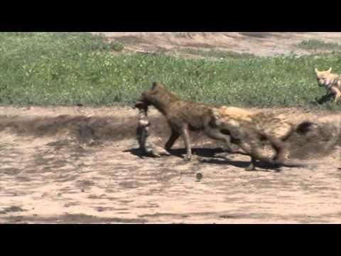 Spectacular coincidence at Ngorongoro Crater, Tanzania