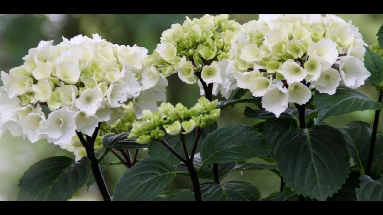 Best Flowering Shrubs, Hydrangea Zebra (Mophead Hydrangea ...