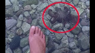 Little octopus comes to my foot changing his color (deimatic displays)