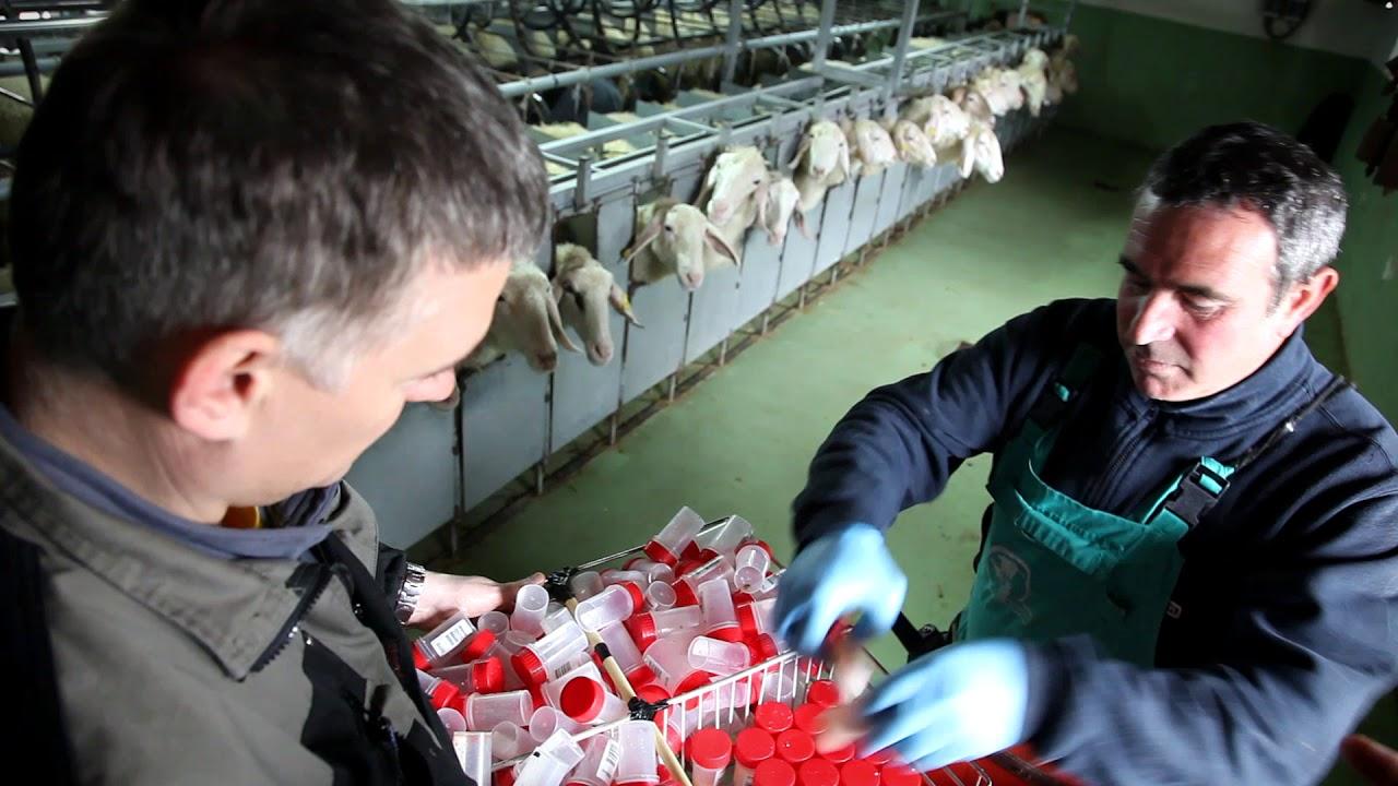 Download Assaf España:  Association of assaf sheep breeders