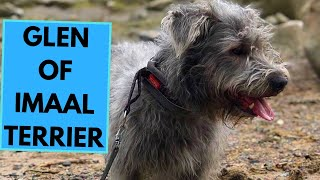 Glen of Imaal Terrier  TOP 10 Interesting Facts