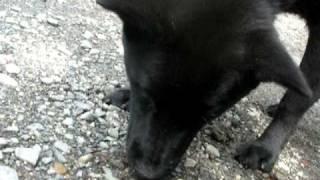 里親募集中の甲斐犬MIXタロ君、お散歩中ウロウロ。