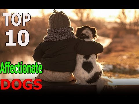 Top 10 Most Affectionate Dog Breeds | Top 10 animals