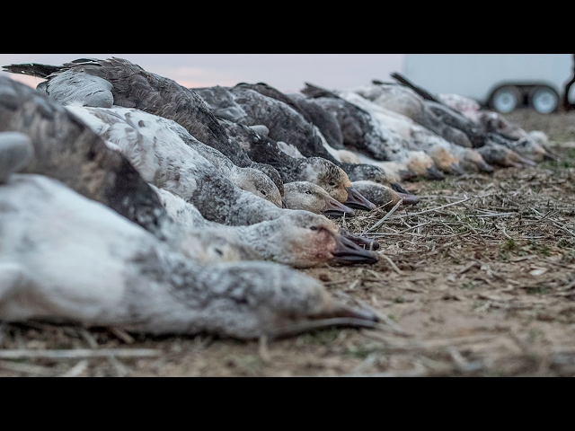 The X: Incredible Illinois Snow Goose Hunting