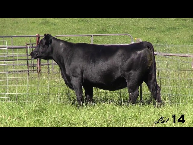 Pine Coulee Angus Lot 14