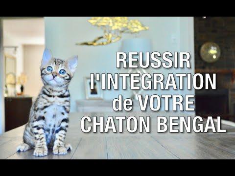 Chaton Bengal: Conseils D'éleveur Pour Une Intégration Réussie  - Chatterie Bengal Laurentides
