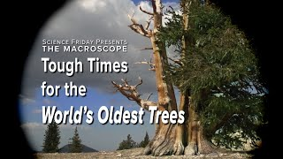 Tough Times for the World's Oldest Trees