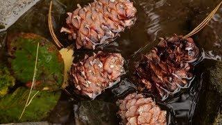 Сибирская сосна Алтайского заповедника    Миллион вопросов о природе