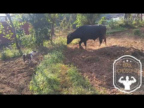 Pitbull vs buffalo