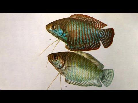 Лялиус  (Colisa lalia) - Аквариумные тропические рыбы № 10