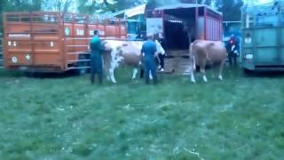 On rentre les bétail du comice #1