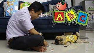 Dạy chó Pug học chữ cái ABC - Xem thử chó Pug thông minh đến đâu =)) ⏩ Pugk vlog