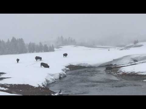 Yellowstone in Winter - Bison Crossing the Yellowstone River at Old Faithful