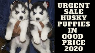 Urgent Sale husky puppies | siberian husky blue eyes puppy for sale | By Dogsbreedofficial 2020