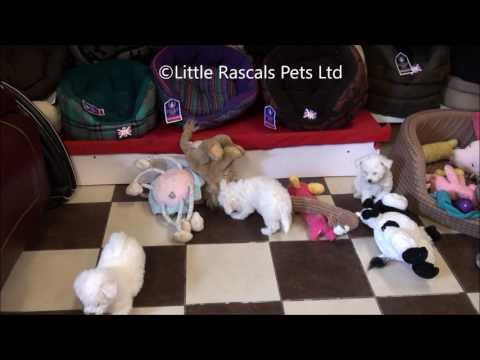 Little Rascals Uk breeders New litter of Bichon Frise Puppies