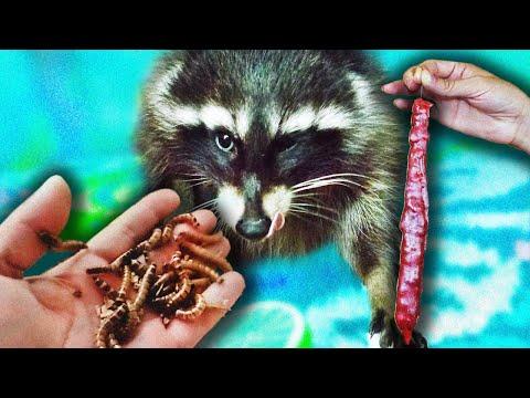 Видео Подарок с енотом