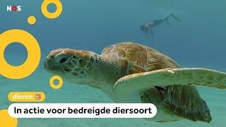 Jayden redt schildpadden op Curaçao