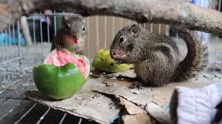 Sóc con/Hai chú sóc dễ thương ăn trái cây(1)/Đức Cống Vlogs