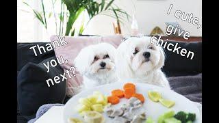 Maltese Dog Reviews Food With Boyfriend   Maltese dog taste test (funny maltese dogs)