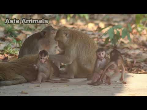 Jungle Monkey in Dry season |Asia Animals|